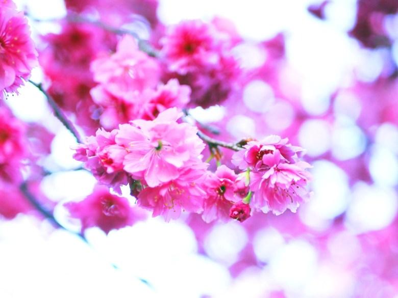 富士櫻 | 粉嫩動人 | 少女系的顏色 | 新社私人農家の櫻花秘境 | Xinshe | Taichung | 巡日旅行攝