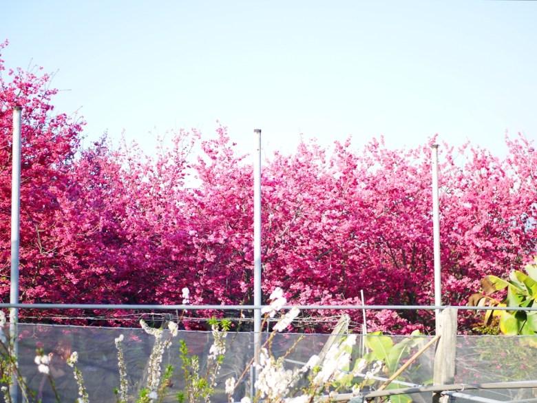 前景李花 | 背景山櫻花 | 新社私人農家の櫻花秘境 | さくら | しんしゃ | RoundtripJp