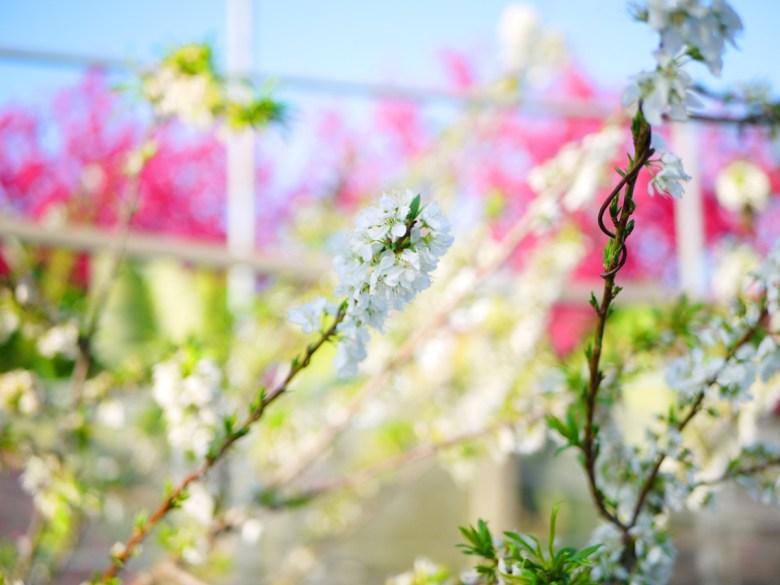 美麗動人的小白花 | 李花 | 李子花 | 新社私人農家の櫻花秘境 | Xinshe | Taichung | 巡日旅行攝