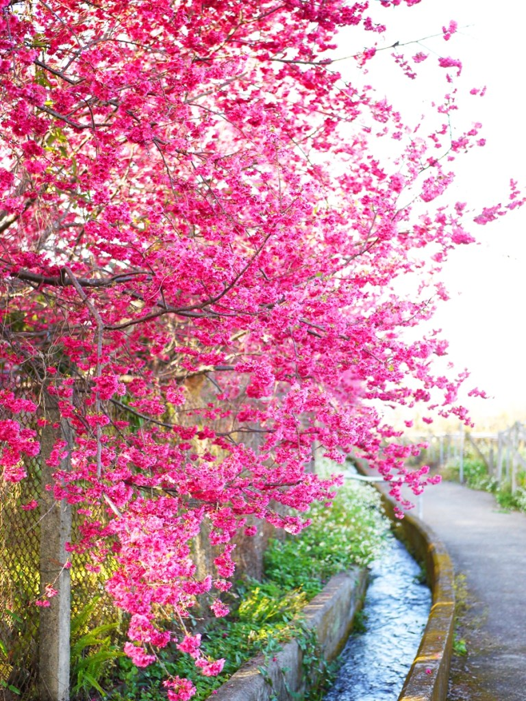 櫻與流水 | 鄉下的寧靜與靜謐感 | 放鬆 | 新社私人農家の櫻花秘境 | さくら | しんしゃ | RoundtripJp