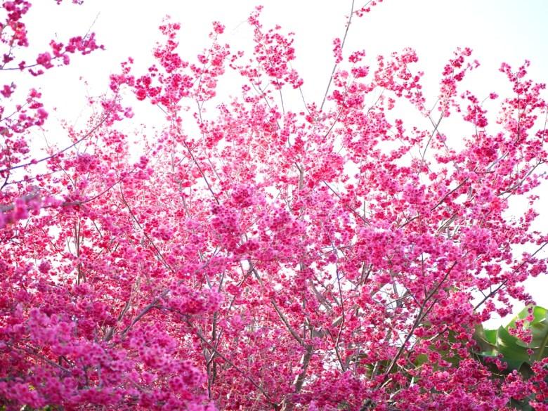 把天空填滿的重瓣緋寒櫻 | 美不勝收 | 新社私人農家の櫻花秘境 | さくら | しんしゃ | RoundtripJp