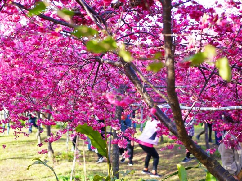 賞花拍照民眾 | 近距離感受櫻花 | 新社私人農家の櫻花秘境 | Xinshe | Taichung | 巡日旅行攝