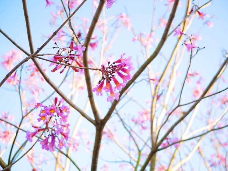 粉紅風鈴木 | 洋紅風鈴木 | 逐漸凋謝 | 新社區興社街一段200號 | 新社 | 台中 | 巡日旅行攝
