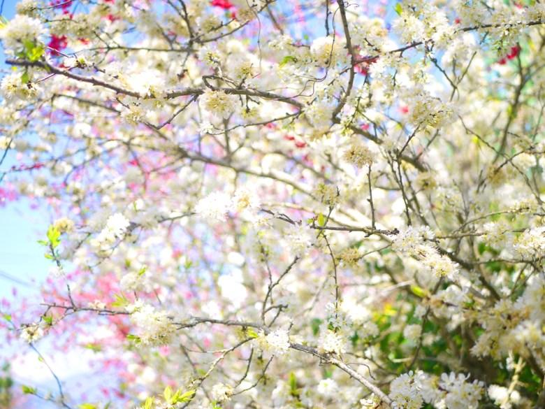 桃花與李花交織的粉白夢幻景色 | 桃李滿天下 | 網美景點 | 玉山秘境 | RoundtripJp