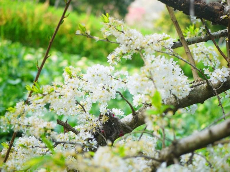 純白的李花 | 綠色茶園 | 清新的綠 | 芬芳的白 | Xinyi | Nantou | RoundtripJp