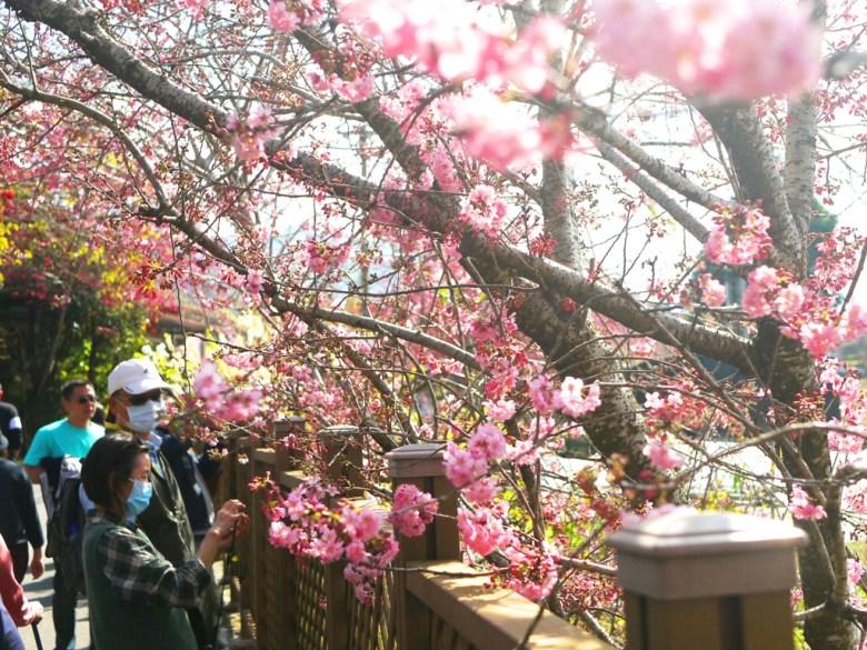 近距離感受櫻花之美 | 粉紅魔力 | シンイー | Xinyi | Nantou | RoundtripJp
