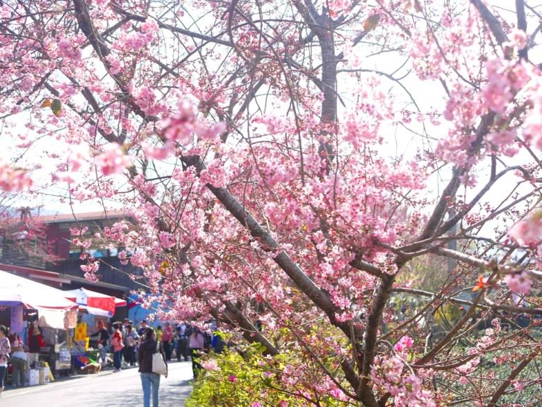 農夫市集旁盛開的櫻花樹 | 廣植超過4000多棵的櫻花樹 | 草坪頭玉山觀光茶園 | 巡日旅行攝
