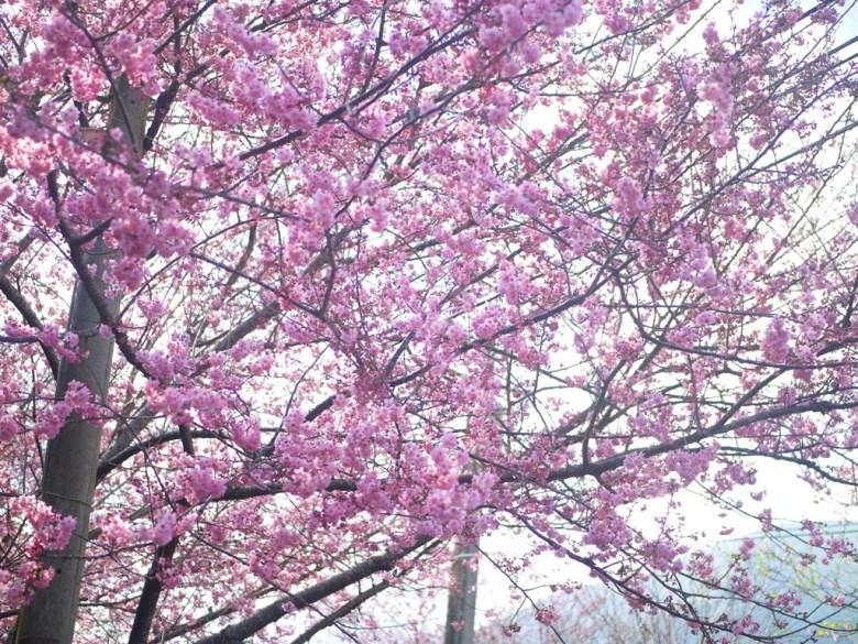 粉嫩與滿開的櫻花 | 感受日本風情 | 網美景點 | 草坪頭玉山觀光茶園 | 信義 | 南投 | RoundtripJp