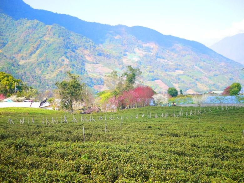 超大片的玉山茶園 | 櫻花樹的點綴 | 萬綠叢中一點紅 | 草坪頭玉山觀光茶園 | 信義 | 南投 | RoundtripJp