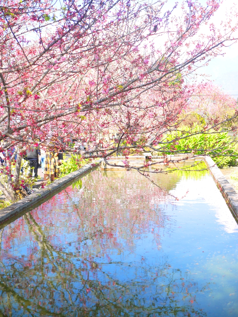 櫻と水鏡 | 網美熱門拍照景點 | 草坪頭玉山觀光茶園 | 信義 | 南投 | 巡日旅行攝