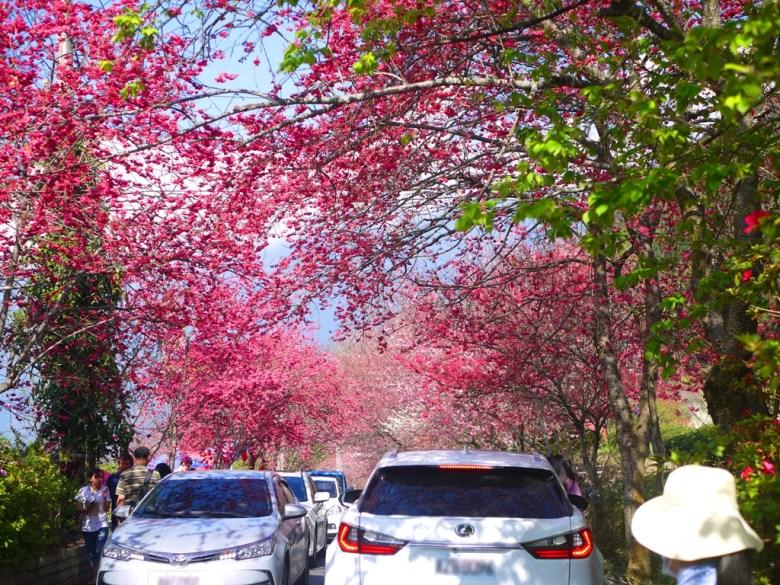 擁擠的櫻花大道 | 塞車 | 會車 | 草坪頭玉山觀光茶園 | 信義 | 南投 | 巡日旅行攝
