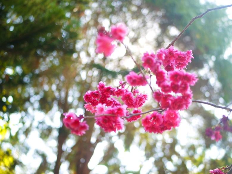 鮮豔紅潤的八重櫻 | 牡丹櫻 | さくら | サクラ | Zhang Heli | Nantou | 巡日旅行攝