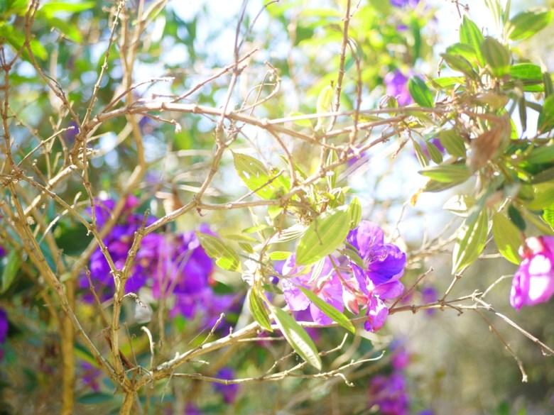 紫色小花 | 風光明媚 | 清幽小徑 | 漳和撼龍步道櫻花秘境 | Zhang Heli | Nantou | RoundtripJp