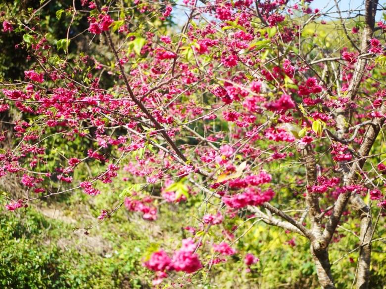 鮮豔飽滿的八重櫻 | 後段櫻花區 | 自然美麗 | 漳和撼龍步道 | 漳和 | 南投 | Zhang Heli Dragon Trail | 巡日旅行攝