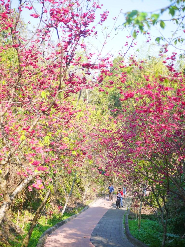 櫻花步道 | 南投秘境 | 漳和撼龍步道 | 後段櫻花區 | 櫻花秘境 | 漳和 | 南投 | Zhang Heli Dragon Trail | RoundtripJp