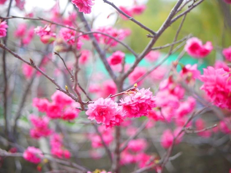前往虎山巖沿途的山櫻花 | Sakura | さくら | サクラ | 虎山巖 | 花壇 | 彰化 | 一抹和風 | 巡日旅行攝
