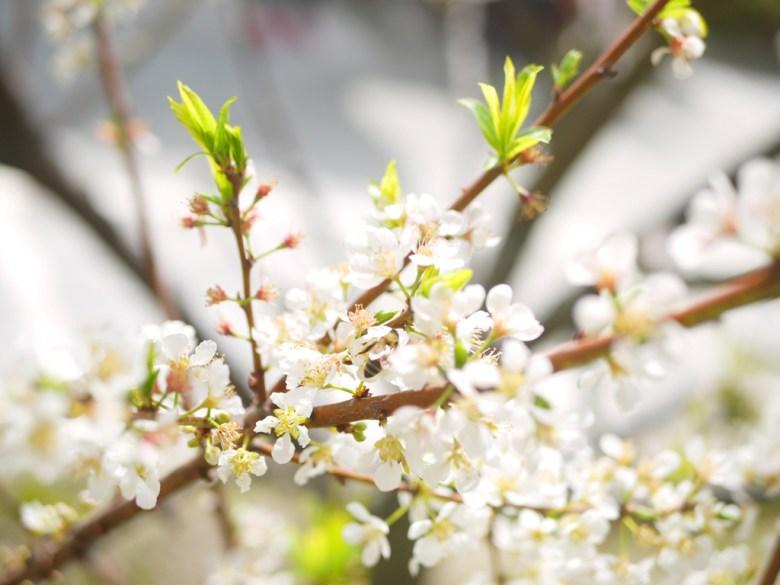 銀白的李花 | 雪白畫面 | 機車停車場前 | 虎山巖正門旁邊 | 虎山巖 | 花壇 | 彰化 | 巡日旅行攝