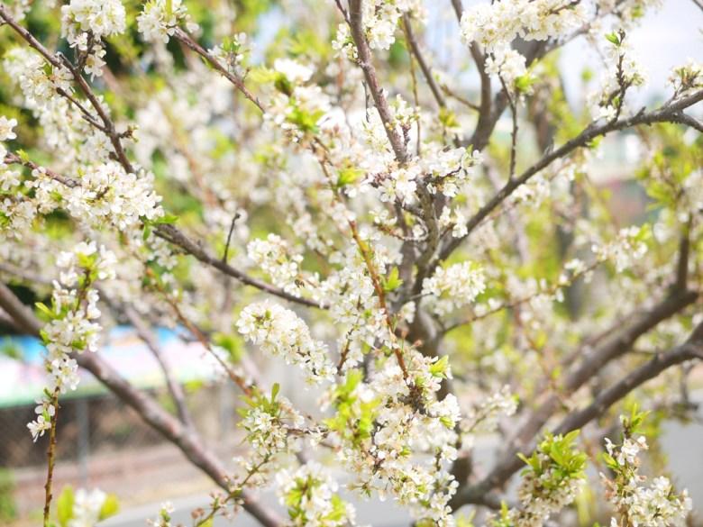 李花與蜂 | 自然生態 | 機車停車場前 | 虎山巖正門旁邊 | Hushanyan | Huatan | Changhua | RoundtripJp