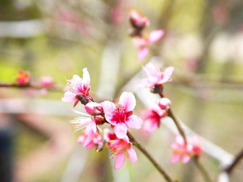 粉紅桃花 | 桃花紅 | 結緣之花 | 停車場後方 | 虎山巖 | 花壇 | 彰化 | 巡日旅行攝