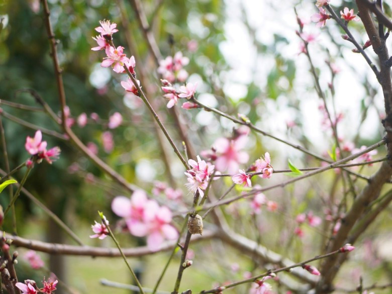 桃花 | 祈求良緣之花 | 桃花正能量 | Hushanyan | Huatan | Changhua | RoundtripJp