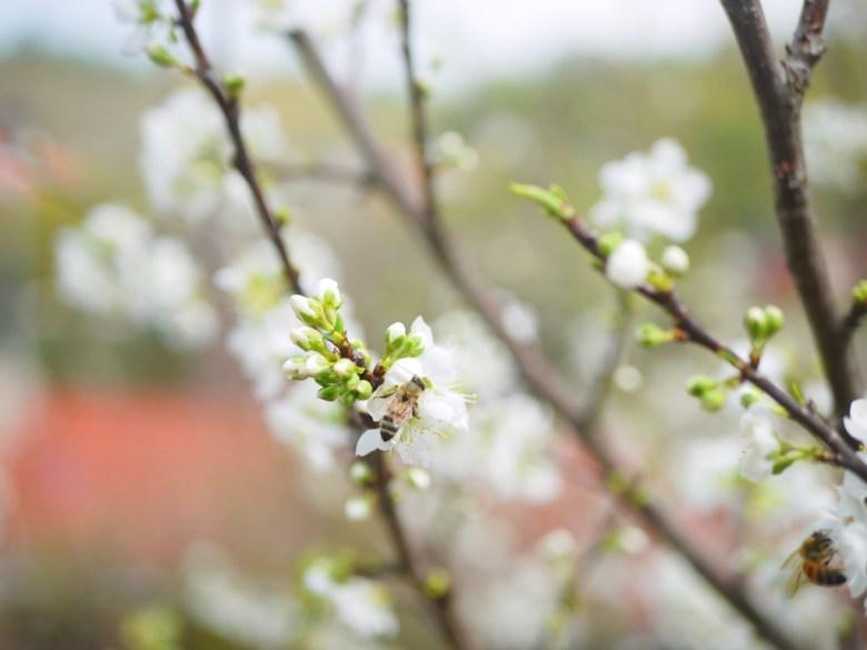 蜂與李花 | 可愛生態 | 小蜜蜂 | Hushanyan | Huatan | Changhua | RoundtripJp