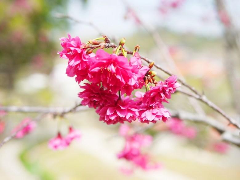 鮮豔紅潤的山櫻花 | 八重櫻 | 牡丹櫻 | Hushanyan | Huatan | Changhua | RoundtripJp