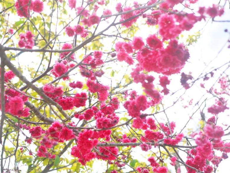 盛開的飽滿八重櫻 | 紅花綠葉 | Hushanyan | Huatan | Changhua | RoundtripJp
