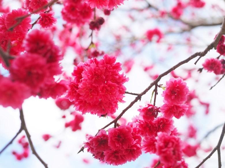 飽滿圓潤的八重櫻 | 美麗動人 | Sakura | さくら | サクラ | 日本味 | 虎山巖 | 花壇 | 彰化 | 巡日旅行攝