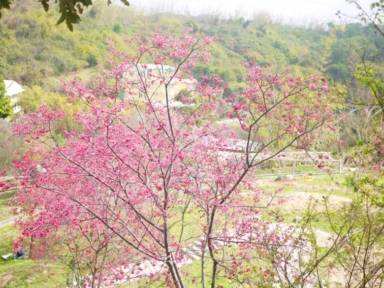 步道與滿開的櫻花樹 | 山櫻花 | Sakura | さくら | サクラ | 日本味 | 虎山巖 | 花壇 | 彰化 | 巡日旅行攝