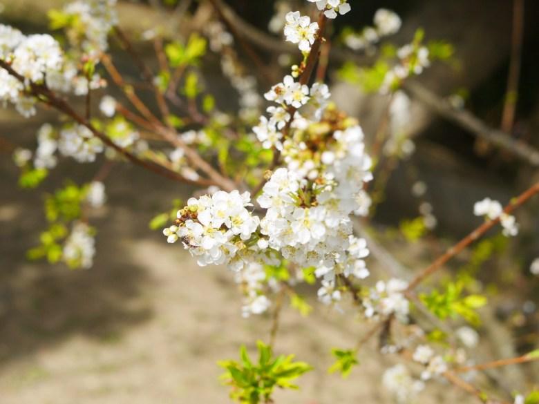 李花與忙碌的小蜜蜂 | 自然生態 | 虎山巖 | 花壇 | 彰化 | 巡日旅行攝