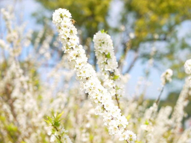580棵滿開的李花綻放雪白花海之美 | 雪白世界 | 虎山巖 | 花壇 | 彰化 | 巡日旅行攝