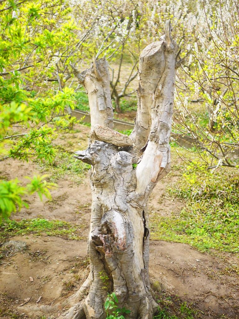 枯木與自然 | 美麗的李花園 | 高達580棵 | Hushanyan | Huatan | Changhua | RoundtripJp