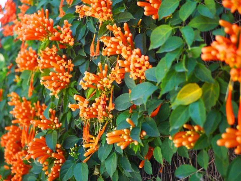 鮮豔美麗 | 炮仗花 | 活力橘 | 湖水路 | Hushui | Wafu Taiwan | 巡日旅行攝