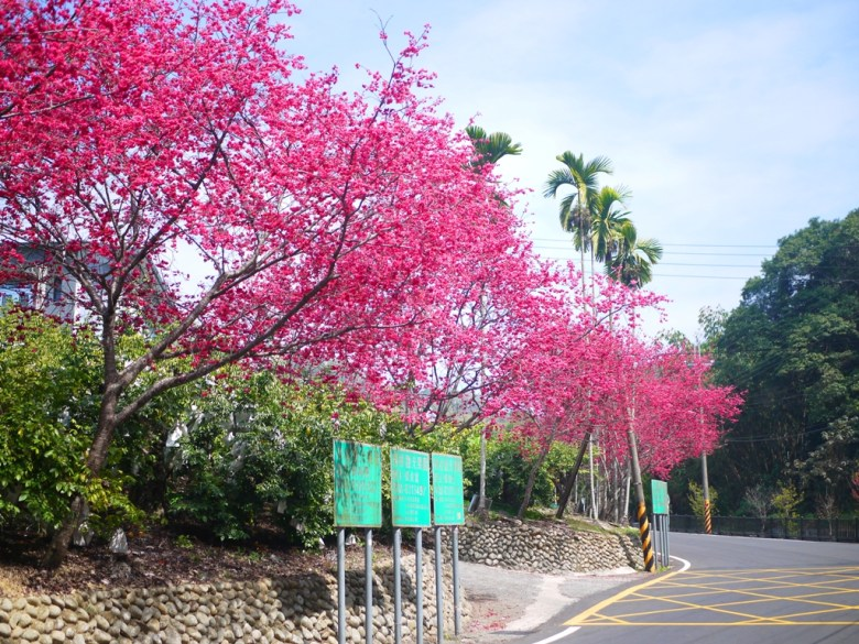 湖水路沿途八重櫻 | 八重櫻並木 | 湖水路 | Yuanlin | Changhua | RoundtripJp