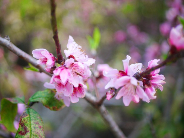 粉嫩少女色系 | 桃花 | 粉紅色 | 湖水路旁橋上 | いんりん | ジャンホワ | 巡日旅行攝