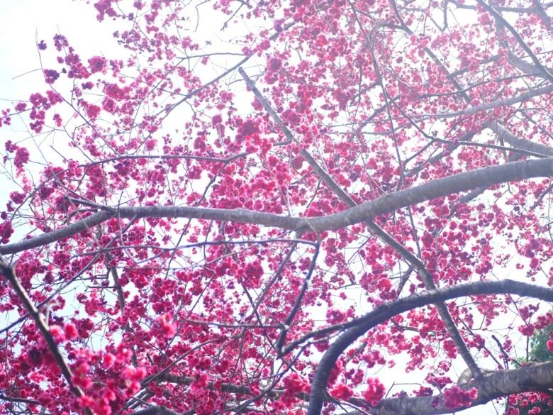 盛開的八重櫻 | 被滿滿櫻花包圍的感覺 | Yuanlin | Changhua | RoundtripJp