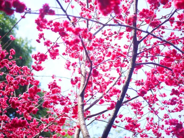 藍天與盛開的八重櫻 | 唯美櫻紅 | 湖水里八重櫻秘境 | 湖水 | 員林 | 彰化 | RoundtripJp