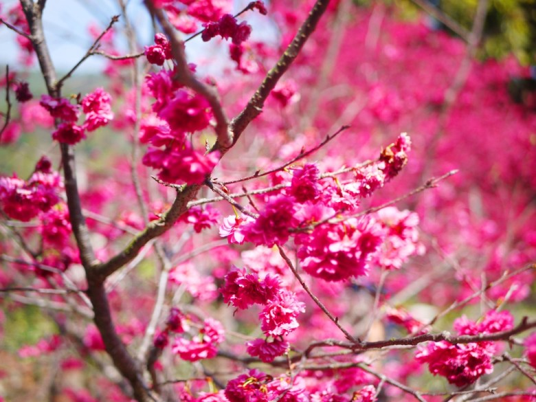 紅潤鮮豔的畫面 | 八重櫻 | 美的像是一幅畫 | 美麗的八重櫻秘境 | 湖水 | 員林 | 彰化 | 巡日旅行攝