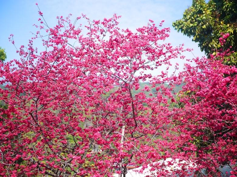 滿開的八重櫻 | 十分絕美 | 日本味 | 美麗的八重櫻秘境 | 湖水 | 員林 | 彰化 | 巡日旅行攝