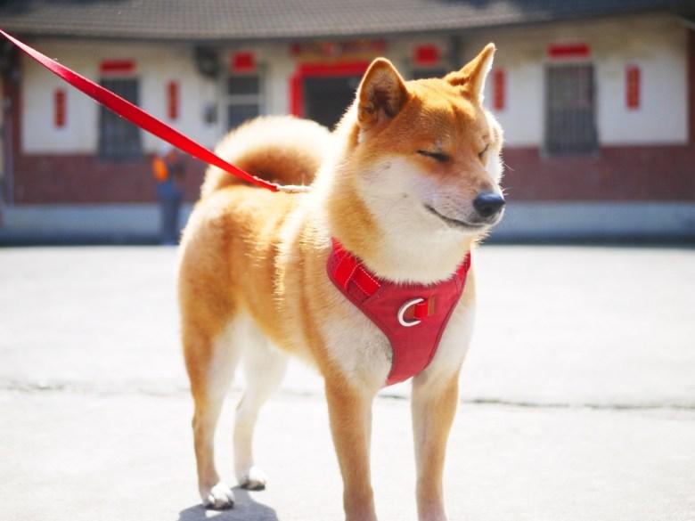 陽光燦爛 | 閉上眼睛的日本柴犬 | 湖水里八重櫻秘境 | 湖水 | 員林 | 彰化 | RoundtripJp