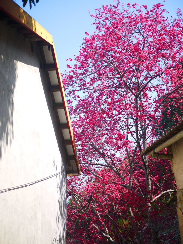 哪裡都是美麗的八重櫻 | 隱身在臺灣民宅中的美麗八重櫻 | 湖水里八重櫻秘境 | 湖水 | 員林 | 彰化 | RoundtripJp