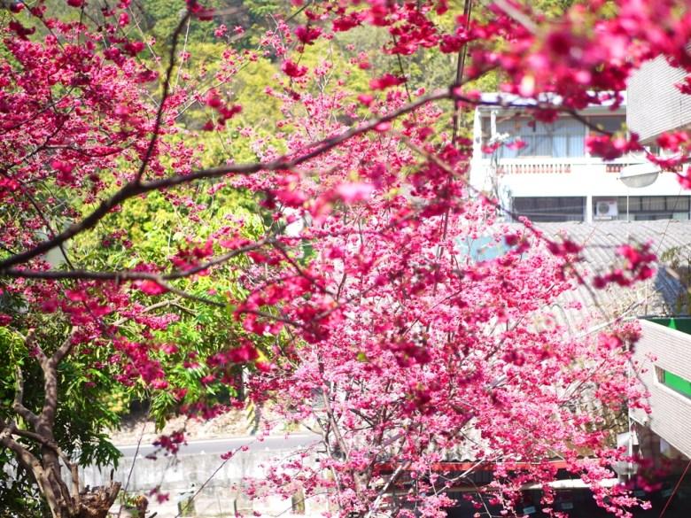 八重櫻 | 鐵皮屋下方為免費停車場 | 滿滿臺灣人情味 | 免費賞櫻景點 | 湖水 | 員林 | 彰化 | 巡日旅行攝