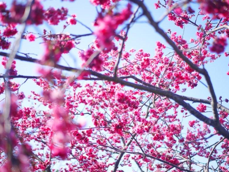 盛開的八重櫻 | Sakura | さくら | サクラ | 泰安 | 苗栗 | 和風巡禮 | RoundtripJp