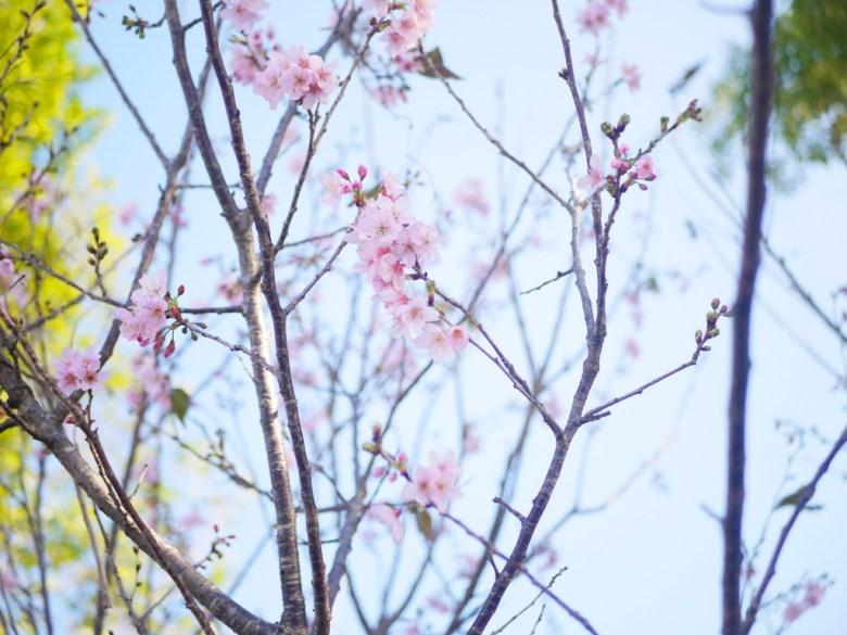 粉嫩吉野櫻 | 為數不多 | 藍藍的天空 | Sakura | さくら | サクラ | 巡日旅行攝