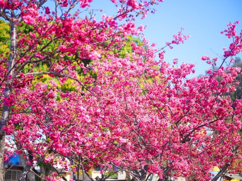 滿開絕美的八重櫻 | 後方為泰安派出所 | 晴朗的藍天與紅色花海 | 泰安 | 苗栗 | 巡日旅行攝
