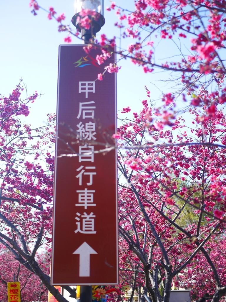 綿延不絕的八重櫻 | 往前為甲后線自行車道 | 左邊為櫻花季才有的攤販區 | 右邊為停車場八重櫻 | Taian | Miaoli | RoundtripJp