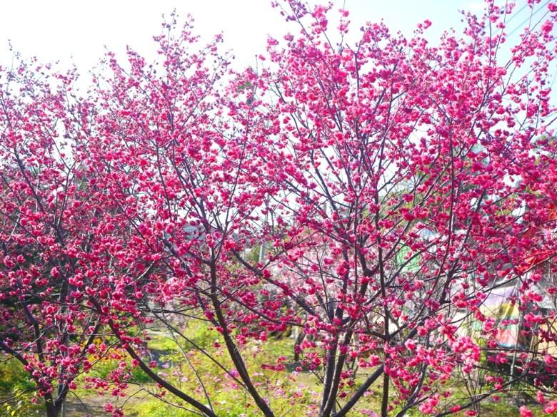 私人園區 | 收費櫻花景點 | 八重櫻 | 美食攤販中間 | Taian | Miaoli | RoundtripJp