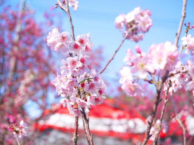 香水櫻 | 墨染櫻 | 變色櫻 | 有香味的櫻花 | 私人園區 | 收費櫻花景點 | 泰安 | 苗栗 | 巡日旅行攝