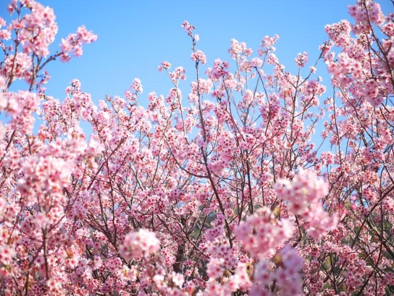 滿開的香水櫻 | 淡淡清香 | 藍天粉花 | 超級浪漫 | 私人園區 | 收費櫻花景點 | 泰安 | 苗栗 | 巡日旅行攝