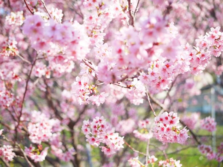 有著香味的櫻花 | 香水櫻 | 墨染櫻 | 變色櫻 | 私人園區 | 收費櫻花景點 | 泰安 | 苗栗 | RoundtripJp